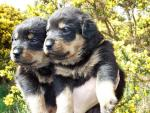 Rottweiler puppies for sale 5 males 5 girls [sold].
