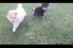 Pomeranians for sale.