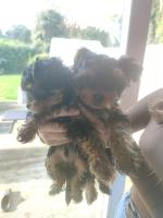 Male Yorkshire terriers for sale.