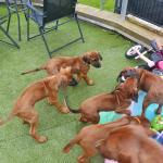 IKC Rhodesian ridgeback puppies in Cork for sale.