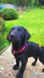 1 IKC black Labrador for sale.