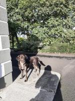 Sadie lab x sheepdog in Mayo for sale.