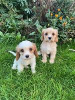 Cavachon pups for sale.