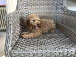Cockapoo puppies in Wexford for sale.