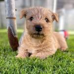 Rare wheaten Scottish terrier for sale.