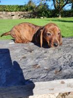 Dachshund puppy in Wexford for sale.