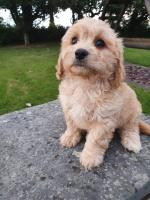 Cavachon pups in Wexford for sale.