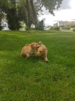 Cockapoo puppies in Carlow for sale.
