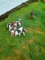 Jack russells in Tipperary for sale.