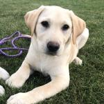 Stunning IKC Lab Pup in Dublin for sale.