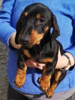 Dachshund pups in Wicklow for sale.