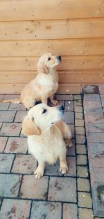 Buddy the Golden Retriever in Clare for sale.