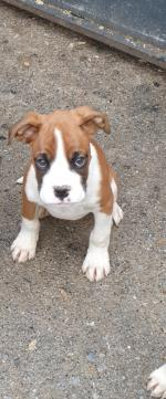 IKC REG Boxer Puppies for sale.