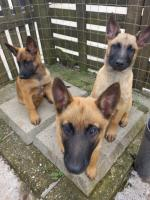 Belgian Malinois in Wexford for sale.