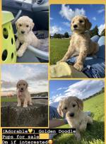 Golden Doodle litter in Waterford for sale.