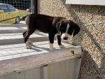 Boxer Cross Pups for sale.
