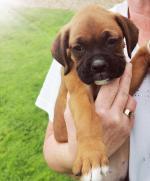 1 Beautiful boxer pups left for sale.