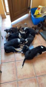 Collie pups in Westmeath for sale.