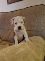American Staffordshire Terriers for sale.