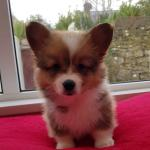 Pembroke Welsh corgi pups [sold].