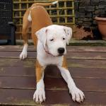 American staff pups for sale.