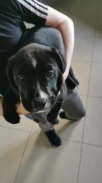Retriever X beagle for sale.