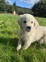 Golden retrievers male pups for sale.