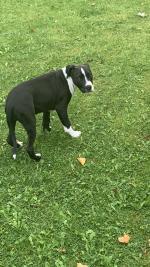 American Pitbull Terrier for sale.