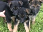 Cuddles, Buddy, and Rascal Jnr German Shepherds for sale.