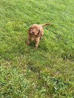Cocker spaniel puppy for sale.