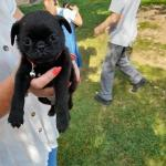 Black pugs puppies for sale.