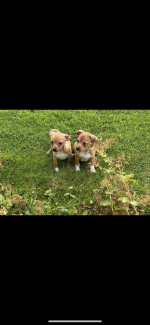 Jack Russell x chihuahua for sale.