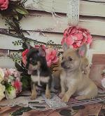 IKC Registered Chihuahuas puppies for sale.