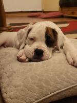 Boxer pups for sale.