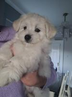 Cavachons in Galway for sale.