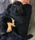Cocker spaniel 1 black male available for sale.