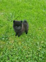 Female Pomeranian in Kerry for sale.