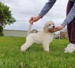 Standard Poodle for sale.