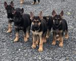 German shepherds in Tipperary for sale.
