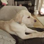 Labrador Pup for sale.