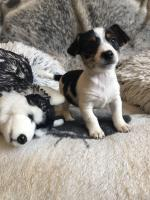 Fantastic litter of jack Russell puppies rare Black and Tan for sale.