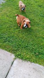 British Bulldogs in Waterford for sale.