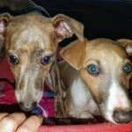 Whippet puppies in Wexford for sale.