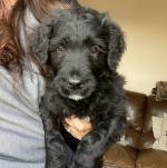 Male Schnoodle puppy for sale.