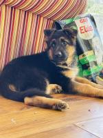 IKC Registered German Shepherd in Waterford for sale.