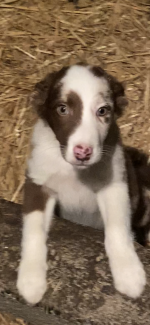 Billy the red Merle collie for sale.