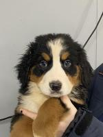 St. Bernese in Donegal for sale.