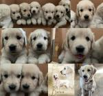 IKC Golden Retriever puppies in Wicklow for sale.