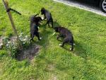 Labrador/ German Shepard Puppies for sale.