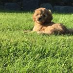 Male Cavachon puppy for sale.